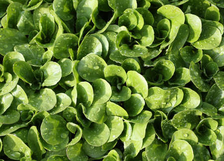 valerian plant: green fresh  salad in the garden of farmer Stock Photo