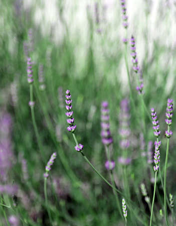 parfum: purple flowers and plant of lavender in spring Stock Photo