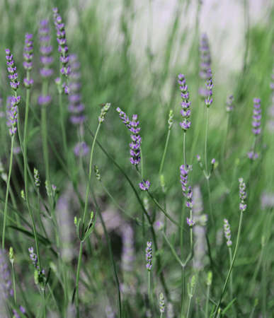 lavanda: purple flowers and plant of lavender in spring Stock Photo