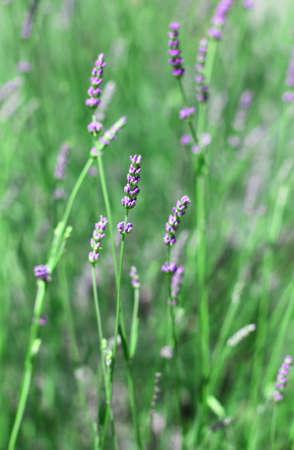 lavanda: purple flowers and green plant of lavender in spring