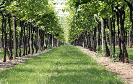 vi�edo: verde vi�a infinita en campa�as de Italia en verano