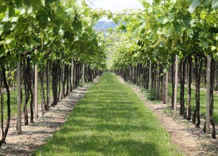 wine grower: large vineyard green in Italian campaigns in summer