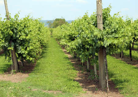 wine grower: long rows of vines in the Italian hills in summer Stock Photo