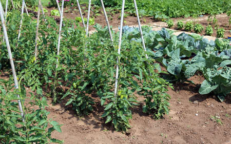 tomato plants and other vegetables in the garden of farmer Stok Fotoğraf