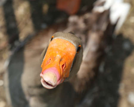 quack: Fat Goose in the farmyard of the farm with the Orange beak flutters