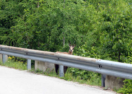guardrail: Sallie chamois on mountain road with guardrail