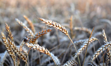 immense: mature ears of wheat in the immense field in summer