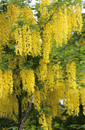 faboideae: beautiful LABURNUM flowers on a tree