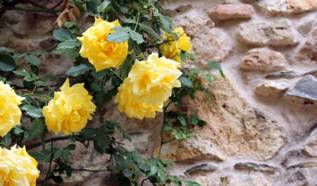 thea: yellow roses in the garden in spring and a ancient wall