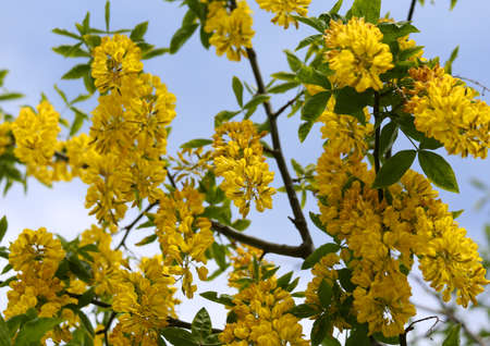 faboideae: yellow LABURNUM flowers on a tree in spring