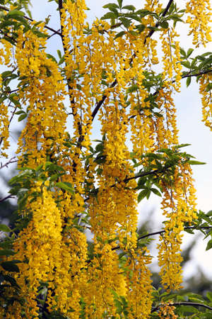 faboideae: beautiful yellow LABURNUM flowers on a tree in spring