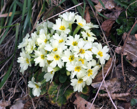 yelllow: Yellow primula flowers in spring in the forest