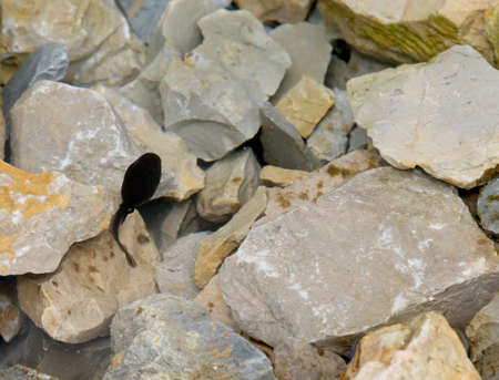 tadpole: One Black tadpole in the pond with stone in the mountains
