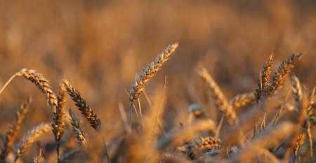 coeliac: mature big ears of wheat in the field in summer