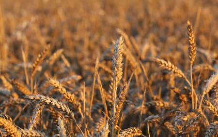 yellow ears of wheat in the field in summer