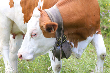 cattle breeding: large cow Bell cow in cattle breeding
