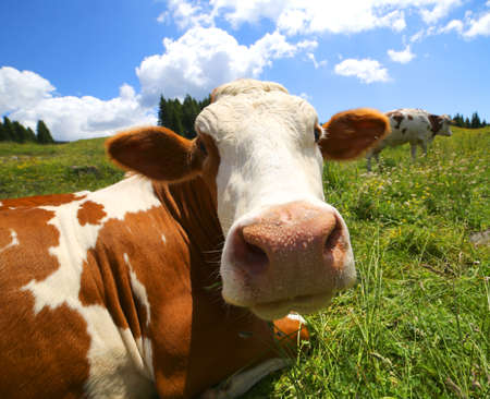 nostril: big cow snout photographed with fisheye lens in mountains Stock Photo