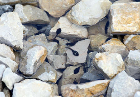 larval: many Black tadpoles in the lake with stone in the mountains Stock Photo