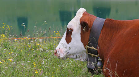breeder: red and white cow grazing in the meadow in the mountains