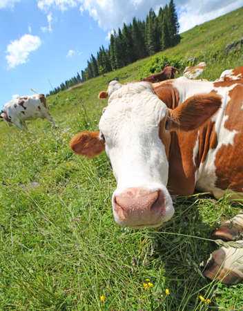 breeder: big cow snout photographed with fisheye lens in mountains Stock Photo