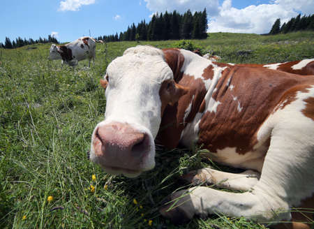 fisheye: cow snout photographed with fisheye lens in mountains Stock Photo