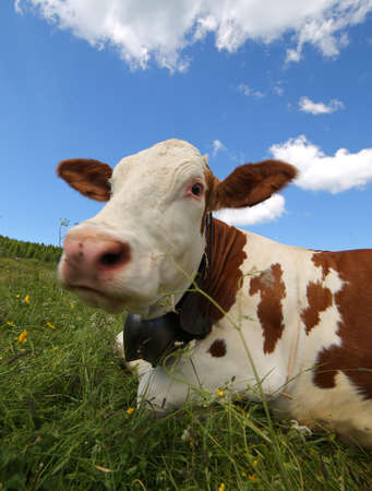 snout: cow snout photographed with fisheye lens in mountains Stock Photo