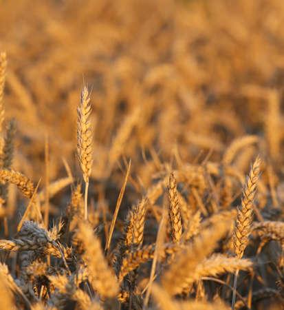 coeliac: ripe big ears of wheat in the field in summer Stock Photo
