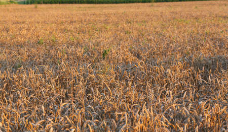the po valley: mature big ears of wheat in the field in summer
