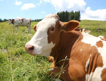 fisheye: big cow snout photographed with fisheye lens in mountains Stock Photo