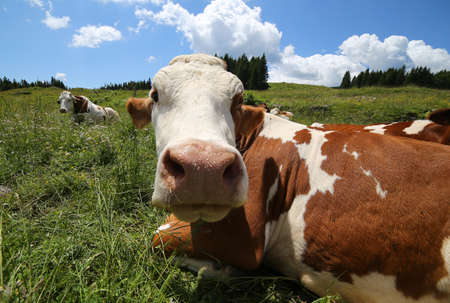 husbandry: big cow snout photographed with fisheye lens in mountains Stock Photo