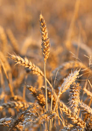 coeliac: background of mature ears of wheat in the field in summer