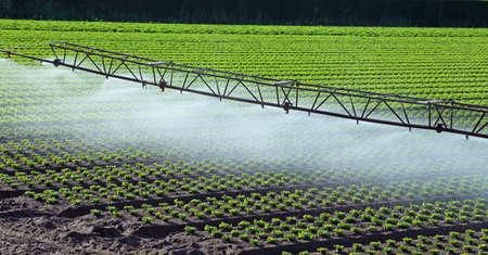 緑のレタスのフィールドに自動灌漑システム 写真素材