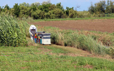 protective suit: beekeeper with the protective suit while collecting honey from honeycombs of bee hives in the country
