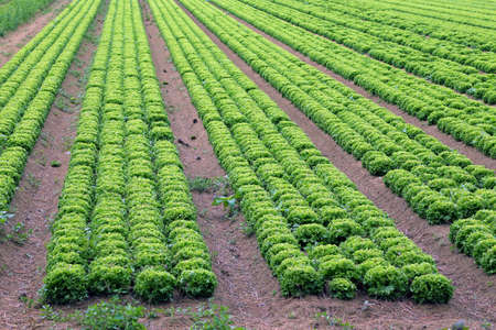 agri: huge field of green lettuce in the plains in summer Stock Photo