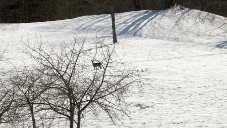 flee: scared deer runs on the white snow in mountain