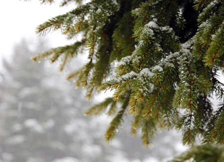 greeen: green FIR branch with snow in winter in the cold