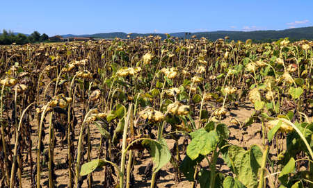 many dried sunflowers field in late summer Stock Photo