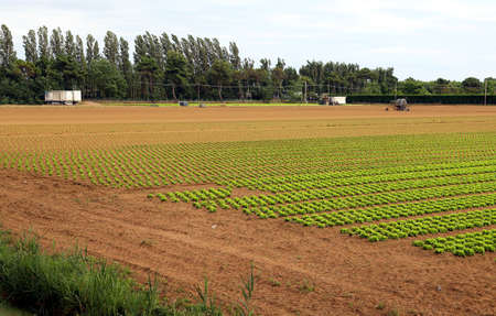 agri: Agriculture: huge field of green lettuce in summer