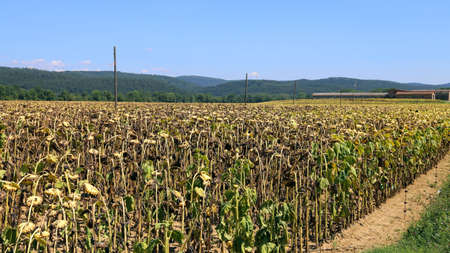 agri: dried sunflowers field in the italian countryside