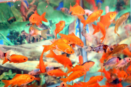 fish store: many goldfish in an aquarium for sale in the pet store