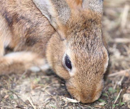 lagomorpha: big rabbit with long ears and ruffled fur Stock Photo