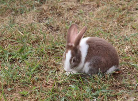 the hutch: young rabbit with long ears and a shiny coat
