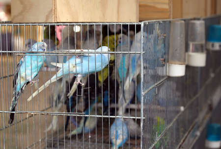 pet store: many budgies in cages for sale in the pet store