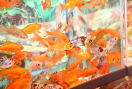 pet store: many goldfish in an aquarium for sale in the pet store