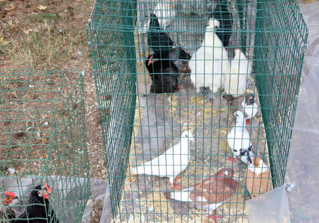 chicken cage: caged hens and chickens to be sold to the poultry market