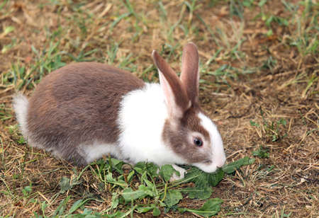 the hutch: big rabbit with long ears and ruffled fur Stock Photo