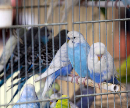 pet store: many colourful budgies in cages for sale in the pet store Stock Photo