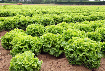 plains: head of lettuce in the vast agricultural plains field in summer