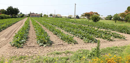 the po valley: immense field of green zucchini in summer