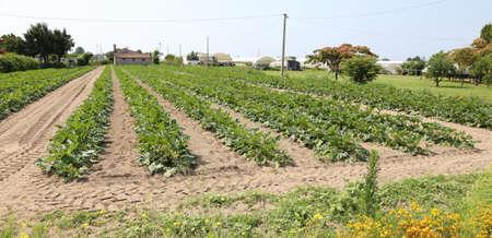 agri: immense field of green zucchini in summer